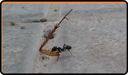 hormiga con pata de cucaracha